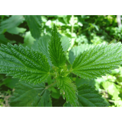Nettle Leaf (Urtica dioica) Tincture
