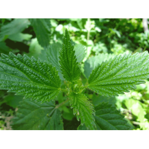http://store.canyonrimhealthyliving.com/206-thickbox/nettle-leaf-urtica-dioica-tincture.jpg