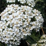Yarrow Leaf & Flower (Achillea millefolium)