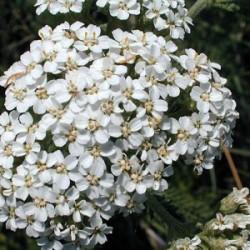 Yarrow Leaf Flower (Achillea millefolium) Tincture