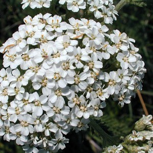 http://store.canyonrimhealthyliving.com/65-thickbox/yarrow-leaf-flower-achillea-millefolium-tincture.jpg