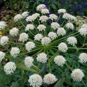 http://store.canyonrimhealthyliving.com/66-thickbox/angelica-root-angelica-arguta-tincture.jpg