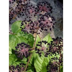 California Spikenard Berry (Aralia californica) Tincture