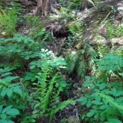 California Spikenard Root (Aralia californica) Tincture