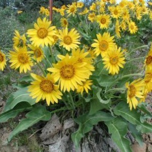 http://store.canyonrimhealthyliving.com/69-thickbox/balsamroot-balsamorhiza-deltoidea-tincture.jpg