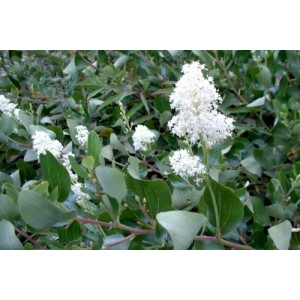 http://store.canyonrimhealthyliving.com/70-thickbox/red-root-ceanothus-velutinus-tincture.jpg