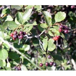 Hawthorn Berry (Crataegus douglasii) Tincture