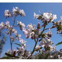 Yerba Santa Leaf Tincture (Eriodictyon californicum)