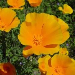California Poppy (Eschscholzia californica) Tincture