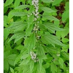 Motherwort Flowering Tops (Leonurus cardiaca) Tincture