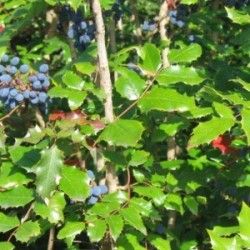 Oregon Grape Root Tincture (Mahonia nervosa)