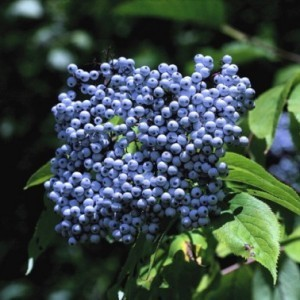 http://store.canyonrimhealthyliving.com/81-thickbox/elderberry-sambucus-mexicana-tincture.jpg