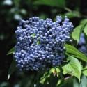 Elderberry Tincture (Sambucus mexicana)