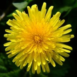 Dandelion Root (Taraxacum officinale) Tincture