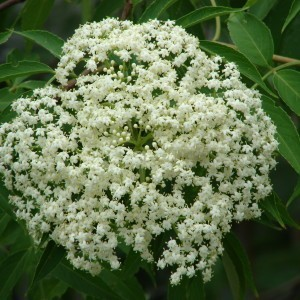 http://store.canyonrimhealthyliving.com/85-thickbox/elderflower-sambucus-mexicana-tincture.jpg