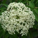 Elderflower Tincture (Sambucus mexicana)